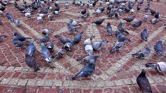 Thumbnail for Pigeons Being Fed