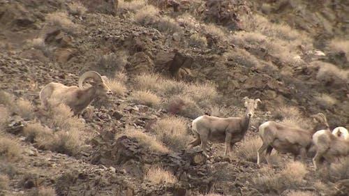 Desert Bighorn Sheep Ram Male Adult Herd Band Smelling Lip Curlflehmen Breeding