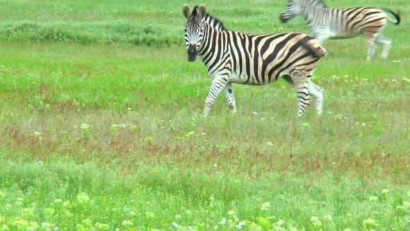 Zebras Grazing in the Steppe