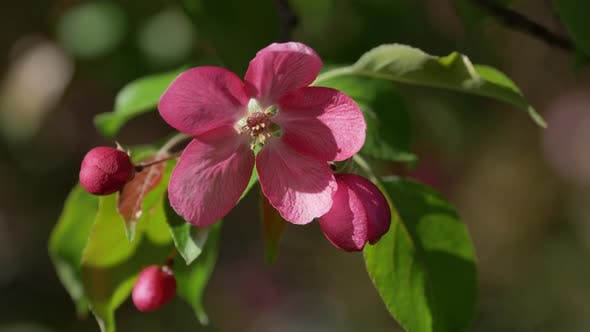 Blooming Apple Trees in the Spring Garden