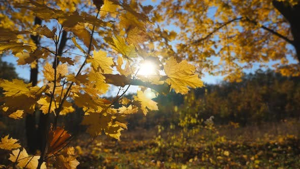 Close Up of Yellow Maple Leaves on Tree Branches Gently Sways on the Wind at Autumn Forest. Warm