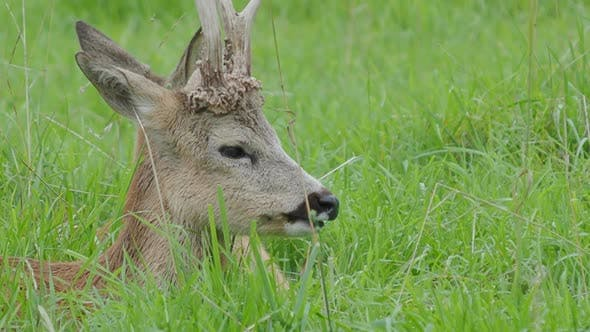 Thumbnail for Fallow Deer Is Lying in Grass and Chewing Something. Dama Dama, Ruminant Mammal,