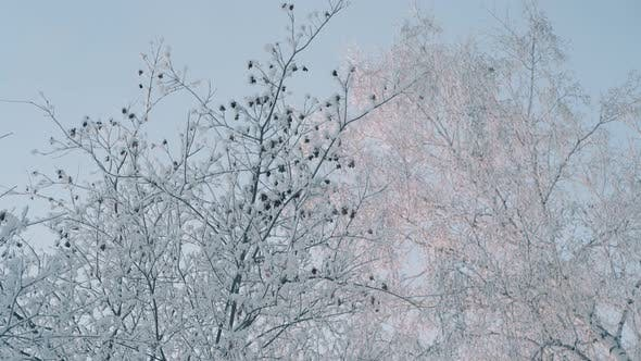Thumbnail for Winter Wood with Trees Covered with Shining Frost in Morning