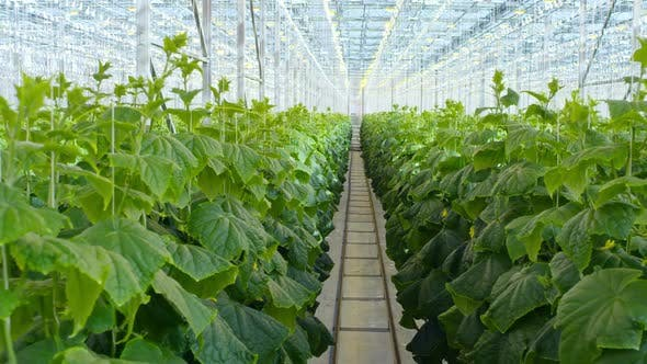 Vegetable Plants Growing in Hydroponic Greenhouse