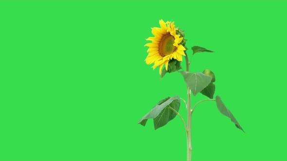 Thumbnail for Sunflower On Green 6