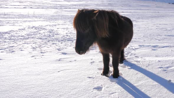 Thumbnail for Iceland Snow Covered Land With A Brown Icelandic Horse On A Sunny Day 2