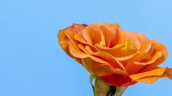 Thumbnail for Gelbe Rose blühende Zeitraffer