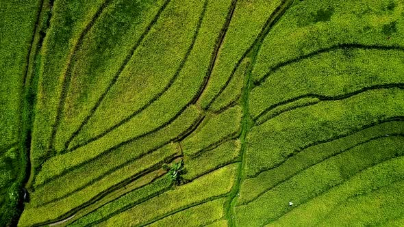 Thumbnail for Beautiful Rice Fields on Bali