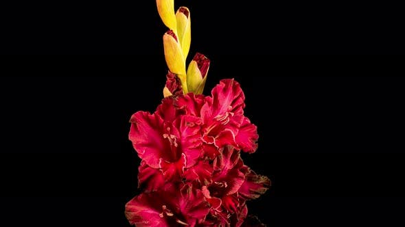 Time Lapse of Red Gladiolus Flower Wilt