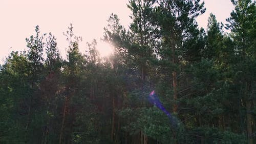 The sun's rays through the pine forest.
