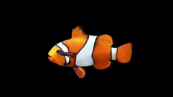 Thumbnail for Clownfish