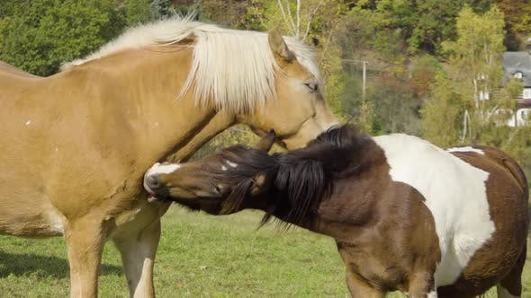 A Close View of Two Horses in Nature As They Lightly Bite and Clean One Another.