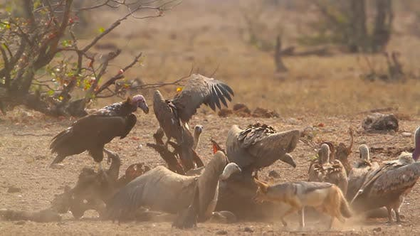 Thumbnail for Lappet faced Vulture and White backed Vulture in Kruger National park, South Africa