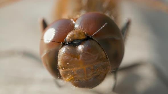Macro Shot of Eyes of Brown Dragonfly