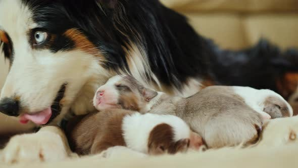Thumbnail for Portrait of Mother Shepherd with Newborn Puppies