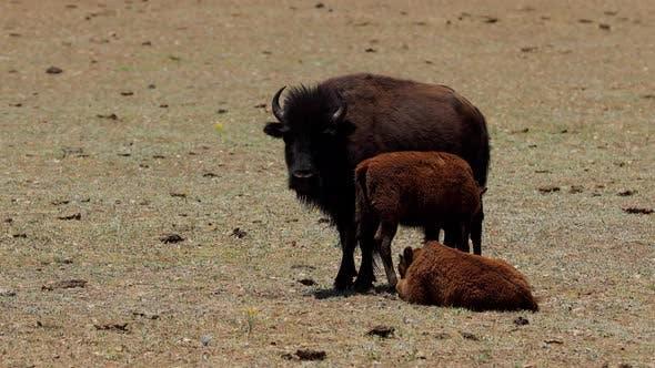 A herd of bison in Arizona