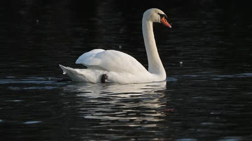 mute swan, cygnus olor against a black background.