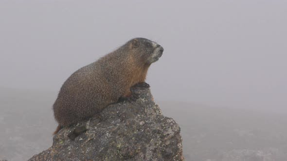 Thumbnail for Yellow-bellied Marmot on Rock Calling Communicating Barking in Fog or Mist