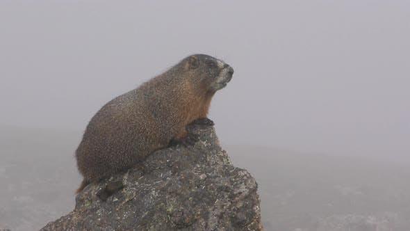 Yellow-bellied Marmot on Rock Calling Communicating Barking in Fog or Mist