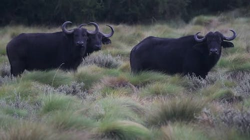 African buffalos looking, in the Kenyan bush, on a rainy day