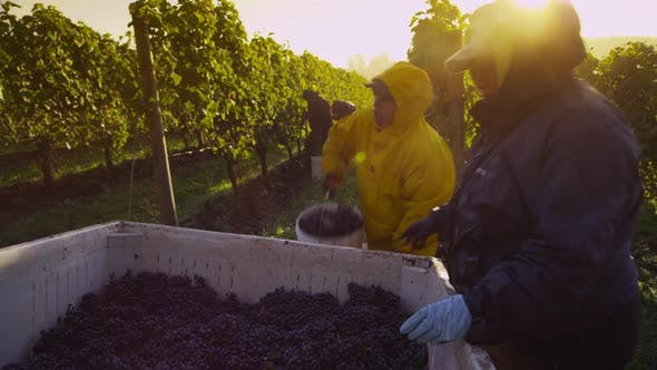 Oregon, USA - October 4, 2013: Harvesting wine grapes in vineyard. Shot on RED EPIC for high quality