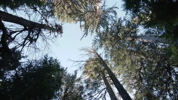 Looking Up At Forest Canopy Walking Stabilized Gimbal