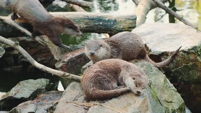 Otters Resting on the Rocks