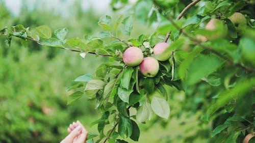 Woman Picking Up a Ripe Apple