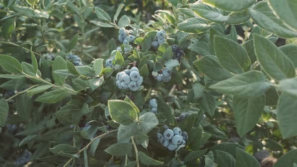 Thumbnail for Fresh and Ripe Organic Blueberries Grow in a Garden on a Summer Day. Blueberry Crop Before Harvest