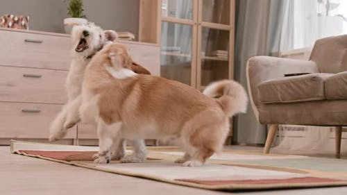 Fox Terrier and Corgi Playing