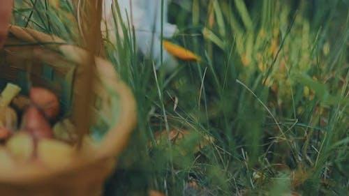 Closeup of a Girl Cuts a Mushroom with a Knife Puts an Edible Brown Mushroom in a Basket