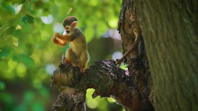 Baby Common Squirrel Monkey Looking for Food on a Tree