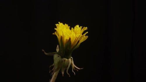 Dandelion Is Blooming. Timelapse