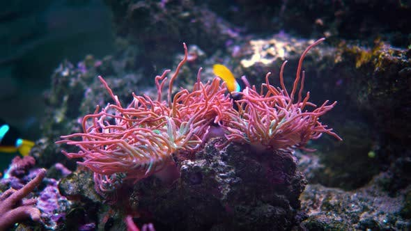 Thumbnail for Topical Saltwater Fish, Clownfish Anemonefish