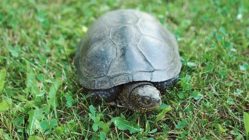 Turtle Moving on Fresh Green Grass