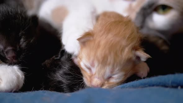 Nursing Mom Cat Hugs a Blind Newborn Ginger Kitten