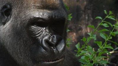 Big Gorilla Eating in a Natural Park