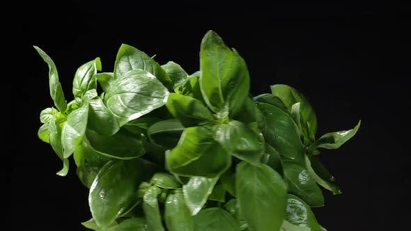 Green Basil with Drops on Leaves Turns on Black Background