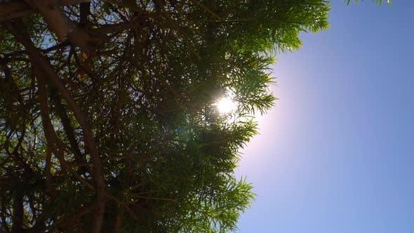 Thumbnail for Sun Glaring Through the Huge Trees