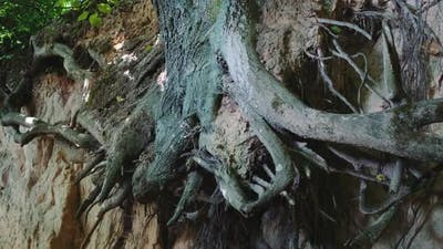Zoom Shot of Exposed Tree Roots