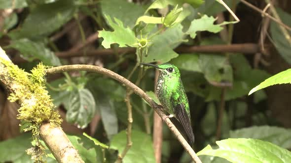 Green-crowned Brilliant Hummingbird Female in Costa Rica
