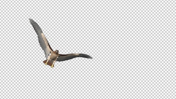 Thumbnail for Red Tail Hawk - 4K Flying Transition - I