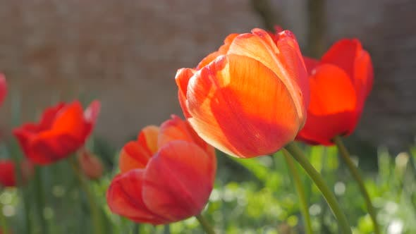 Thumbnail for Red tulipa flowers in the garden 4K 2160p 30fps UHD footage - Tulip plant slow moving on the wind sp