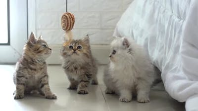 Cute Persian Kittens Playing Toy Together
