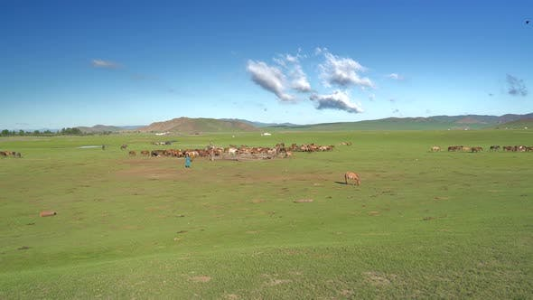 Free Horses Being Herded Together at Mongolian Steppes