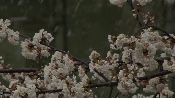 Spring Buds and Flowers of Fruit Tree