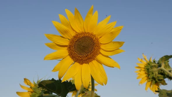 Thumbnail for Slow motion Helianthus plant details with insect  1080p FullHD footage - Sunflower in the field and