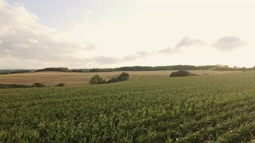 Breathtaking Scenery of Crop Field with Crops Swaying with the Wind
