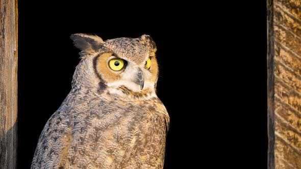 Thumbnail for Beautiful Great Horned Owl