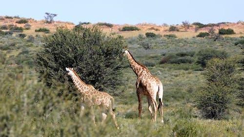 Majestic Giraffes in Kalahari, South Africa